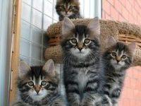 Фото сибирских котят