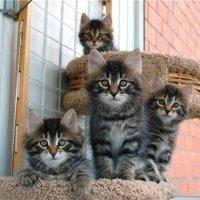 котята сибирской породы