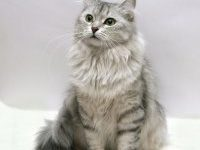 Описание породы сибирской кошки с фото