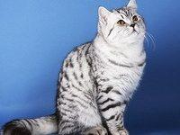 Шотландский прямоухий кот — самая дружелюбная порода