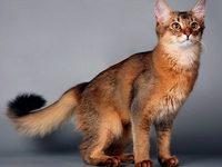 Кошка сомали (сомалийская)