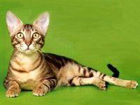 Описание породы кошек сококе с фото