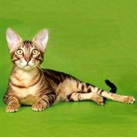 Кошка сококе фото