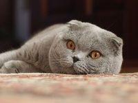 Шотландская вислоухая кошка — скоттиш фолд