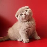 Как ухаживать за вислоухим шотландским котенком