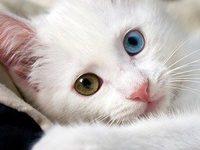 Сколько живет ангорская кошка?