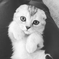 вислоухая шотландская кошка характер