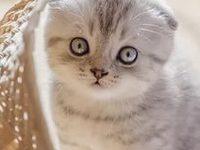 Характер и уход за шотландскими вислоухими котятами