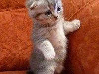 Сколько живут вислоухие шотландские кошки?