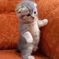 сколько живут вислоухие шотландские коты