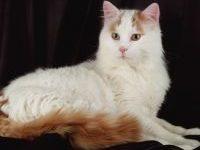 Как отличить турецкого вана от обычного кота?