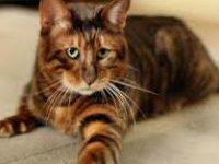 Кошка тойгер — описание породы