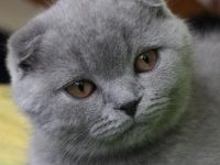 Как назвать шотландского вислоухого котенка мальчика?