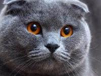 Беременность вислоухой шотландской кошки