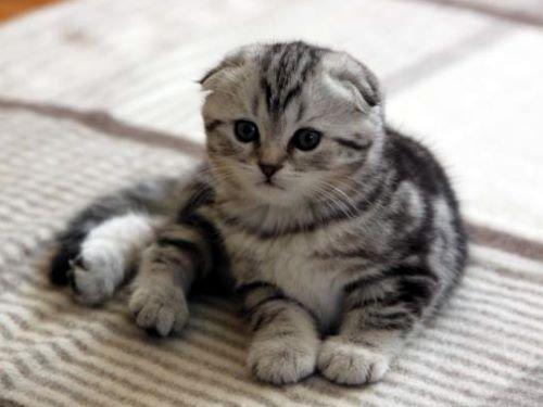 Шотландские кот вислоухие уход