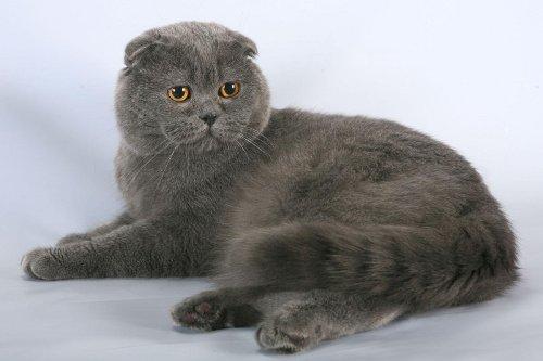 Размер вислоухих кот