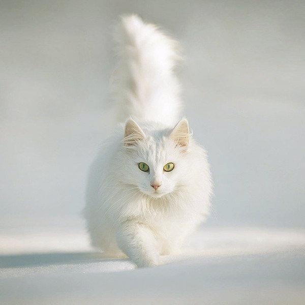 Фото котов породы ангора
