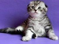 Как назвать шотландскую вислоухую кошку девочку?