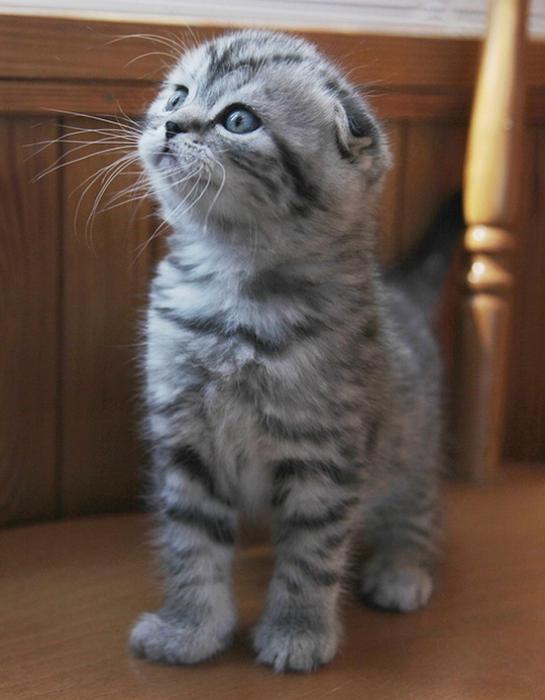 Как лечить понос у шотландского вислоухого котенка