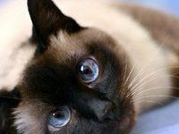 Тайский кот — характеристика породы