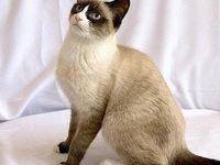 Описание породы кошки сноу шу с фото