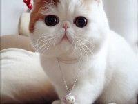 Описание породы экзотической короткошерстной кошки