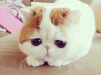 Характеристика породы кошки экзот с фото