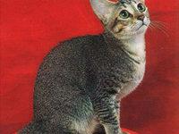 Описание породы цейлонской кошки