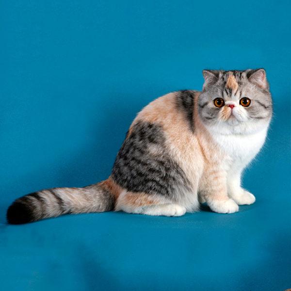 Экзотическая короткошерстная кошка: фото, видео, описание породы