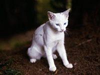 Описание породы кошки форин вайт