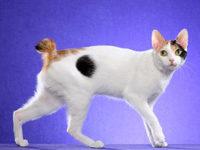 Японская порода кошек — Японский бобтейл