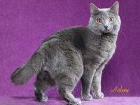 Описание породы кошки шартрез с фото
