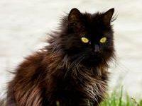 Описание породы кошек шантильи тиффани с фото