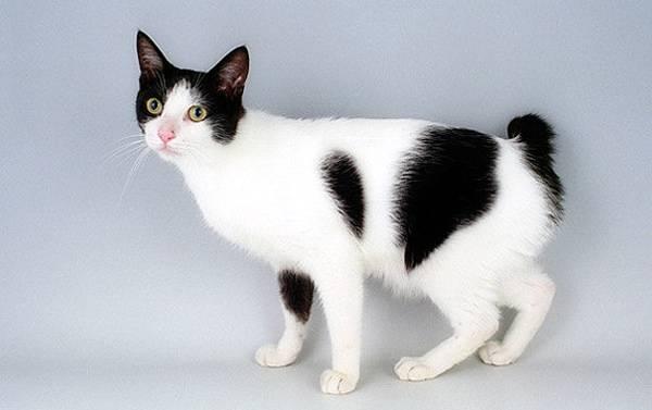 Японские породы коты
