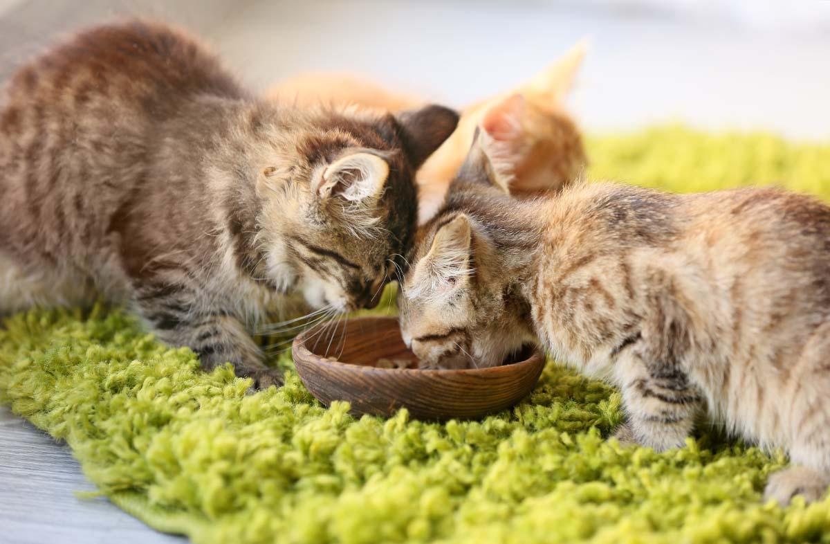 как перевести кошку на новый корм